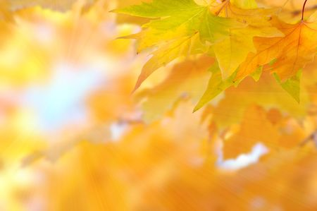 yellow autumn leaves with sunlight Stock Photo - 8193270