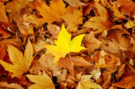 pile up: yellow maple autumn leaf lying in the faded foliage