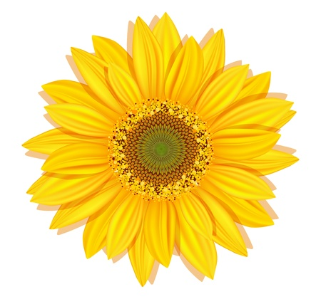 white daisy: Vector sunflowers on a white background