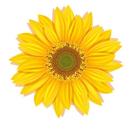zonnebloem: Vector zonnebloemen op een witte achtergrond Stock Illustratie