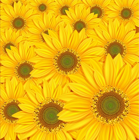 sunflowers field: vector sunflowers background Illustration