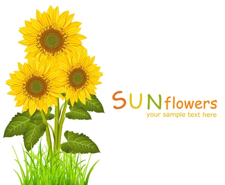 sunflowers field: three vector sunflowers on a white background