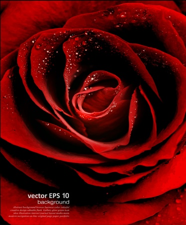 Red Rose closeup with dew drops Vector