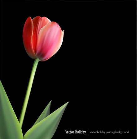 delicate bud of a tulip on a black background Vector