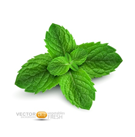 mint: Vector fresh mint leaves on a white background