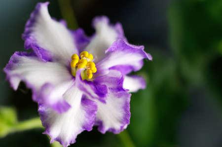 wellness background: flower (violet home) on a dark background Stock Photo