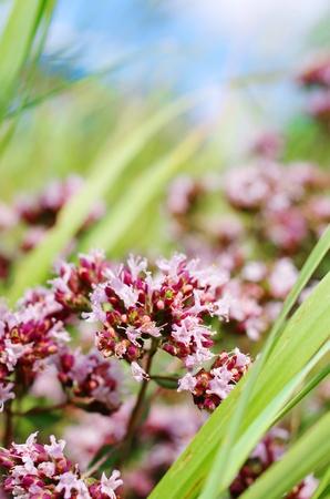 marjoram: Oregano flowers in the field