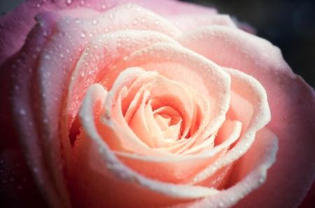 옅은 분홍색 배경 근접 장미