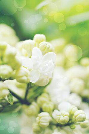 garden key: White Lilacs