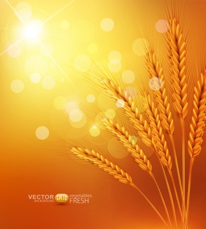 vector background with gold ears of wheat and sunrays Vector