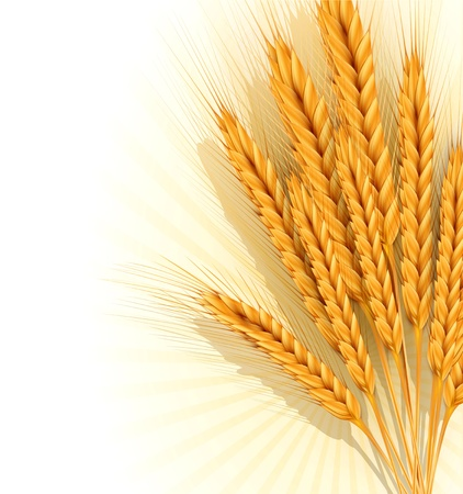 grain fields: background with a sheaf of golden wheat ears Illustration