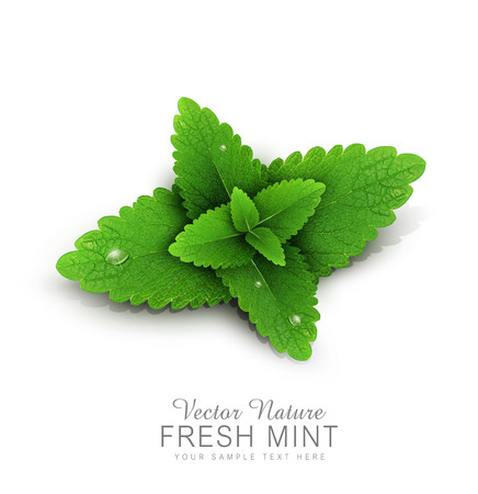 spearmint: Vector fresh mint leaves with dew drops. isolated on white background (element for design) Illustration