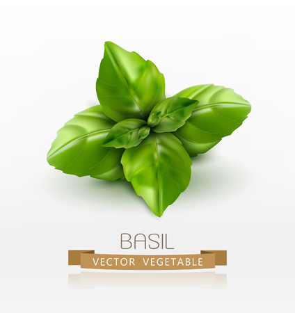 basil: Vector basil leaves isolated on white background