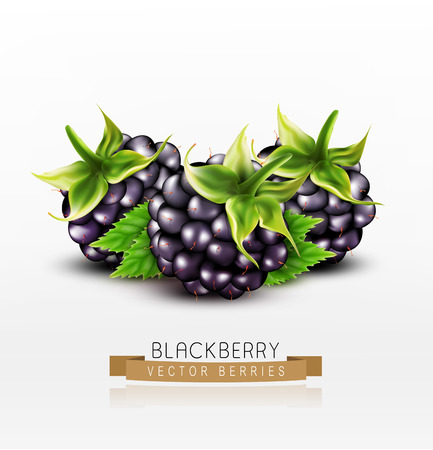 dewberry: Vector blackberries isolated on white background