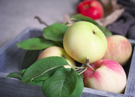 Autumn harvest: ripe, fragrant red-green apples in a wooden, gray box