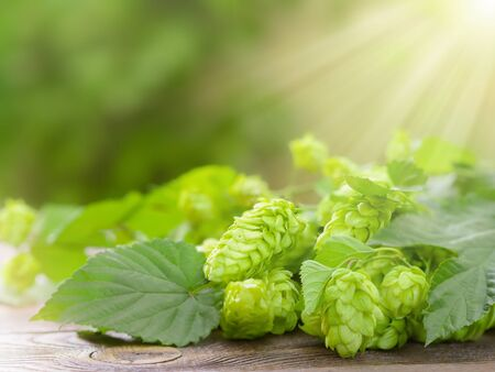 Green hop cones on a wooden table, against the background of nature, in the rays of the morning sun. Template for layout, design.