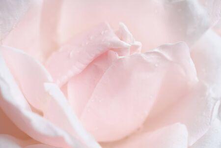 Macro shot local focus fragment pale pink rose petals