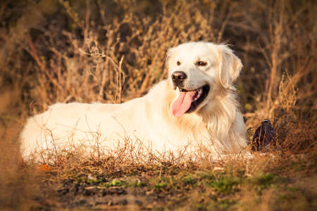 portrait of a young golden retriever dog with pink tongue in autumn park photo