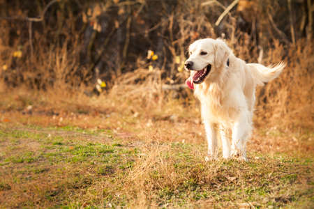 young golden retriever dog with pink tongue play in autumn park