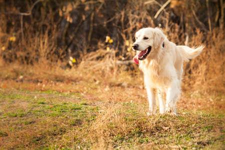 秋の公園でピンクの舌プレイで若いゴールデンレトリーバー犬