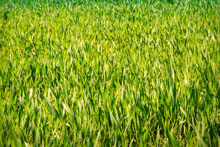 boundless: panorama of boundless green wheat field