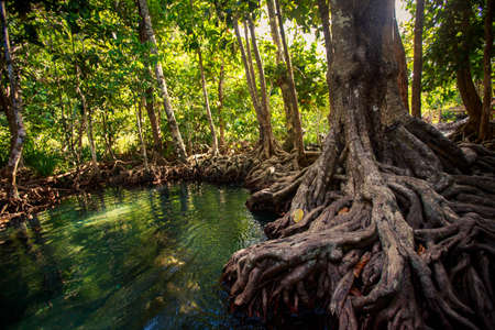 exotic gleam: closeup gleams of river among green mangrove trees with interlaced roots under seldom sunlight in tropical tourist park