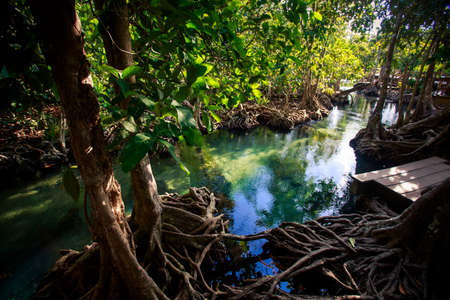 seldom: green mangrove trees reflected in water interlaced roots and rostrum under seldom sunlight