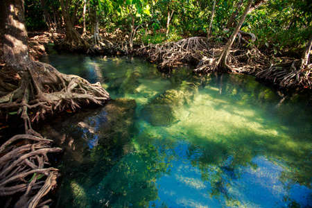 large tree: transparent river water reflects green mangrove trees and interlaced roots under bright sunlight