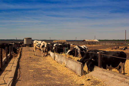 cattle wire wires: black-white milch cows eat hay behind wire barrier in outdoor farm enclosure under bright sunlight Stock Photo