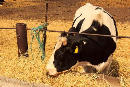 cattle wire wire: closeup black-white milch cow eats hay behind wire barrier in outdoor enclosure Stock Photo