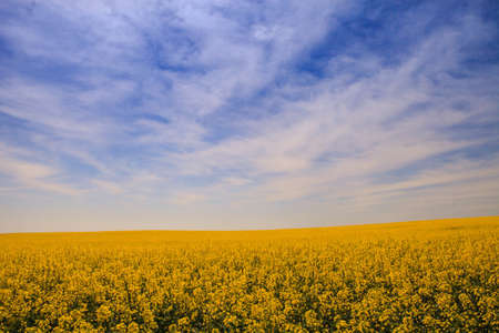 fleecy: fantastic blue sky with fleecy clouds above yellow rapeseed field in blossom