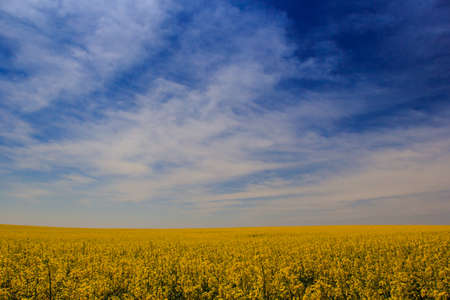 fleecy: panorama of fantastic blue sky with fleecy clouds above yellow rapeseed field in blossom