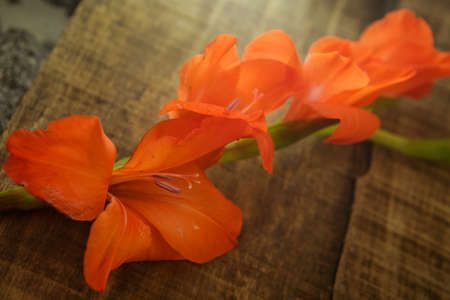 horizontal position: closeup orange gladiolus flower in horizontal position on brown wooden table background