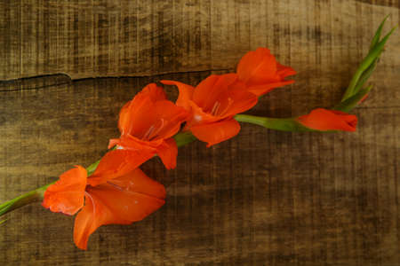 horizontal position: top view of branch orange gladiolus flower with buds in horizontal position on brown wooden table background