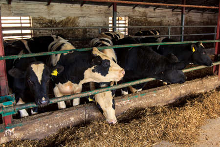 blackwhite: black-white milch cows eat hay behind barrier in cow-shed