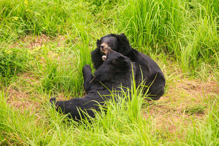 big black bears gambol on high grass in zoo of tropical park in  Asia Stock Photo