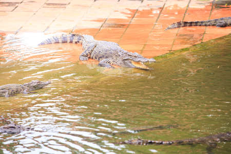 large crocodile with open mouth lies on stone surface in pond on breeding farm in tourist park in Vietnam