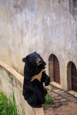 large black bear sits on back paws on barrier against high stone wall with iron-barred windows in zoo in Asia