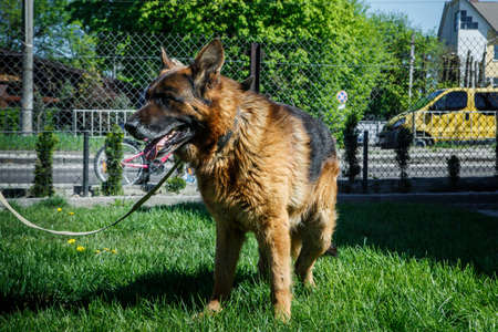 big adult german shepherd male dog on laser leash stands on green young grass near reticulate fence