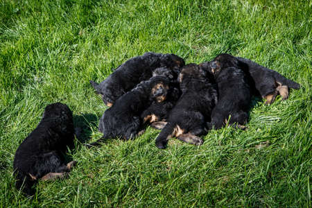 small black german shepherd puppies sleep on young green grass in garden