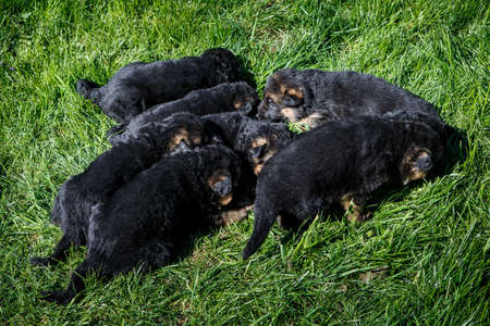 closeup small black german shepherd puppies sleep on young green grass in garden 写真素材