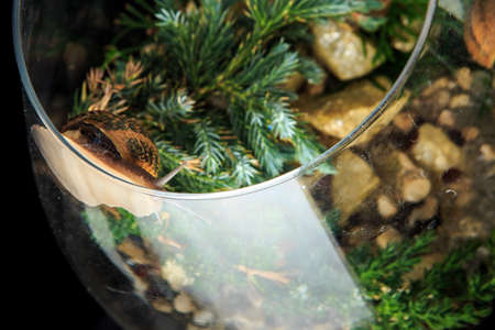 top view closeup on big snail in shell crawls in glass wineglass filled with pine branches isolated on black background