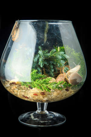 large snails in shells crawl in big glass wineglass filled with pine branches isolated on black background