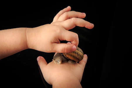 closeup kid hands stroke big snail in shell on black mirror background with reflection