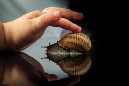 closeup kids hand strokes big snail in shell on black mirror background with reflection 스톡 콘텐츠