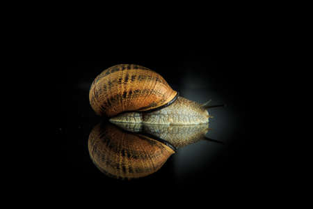 one large snail in shell crawl on black mirror background with reflection 写真素材
