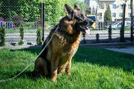 gorgeous adult german shepherd male dog on laser leash sits on green young grass near reticulate fence 写真素材 - 132590331