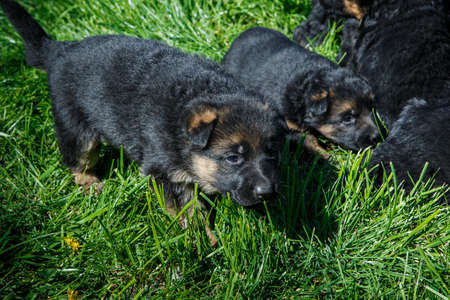 closeup cute little black german shepherd puppies play on young green grass in garden