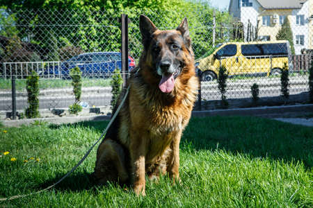 beautiful adult german shepherd male dog on laser leash sits on green young grass near reticulate fence
