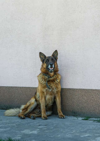 big adult german shepherd male dog in laser collar sits against home wall